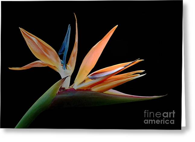 Tropical Exotica- Bird Of Paradise Flower Greeting Card by Inspired Nature Photography Fine Art Photography