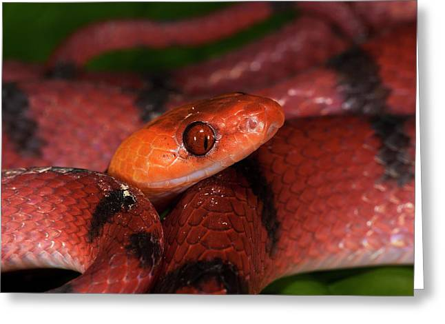 Tropical Flat Snake (siphlophis Greeting Card by Pete Oxford