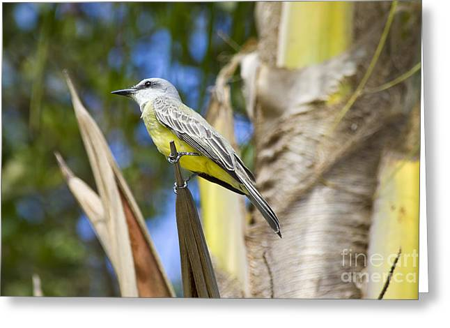 Tropical Kingbird Greeting Card by Teresa Zieba