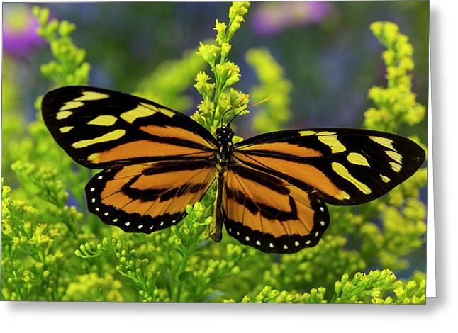 Tropical Milkweed Butterfly, Of Central Greeting Card