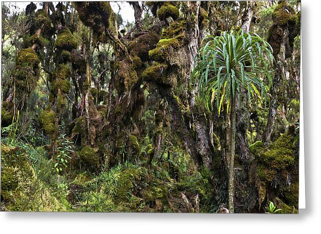 Tropical Mountain Forest, Rwenzori Greeting Card