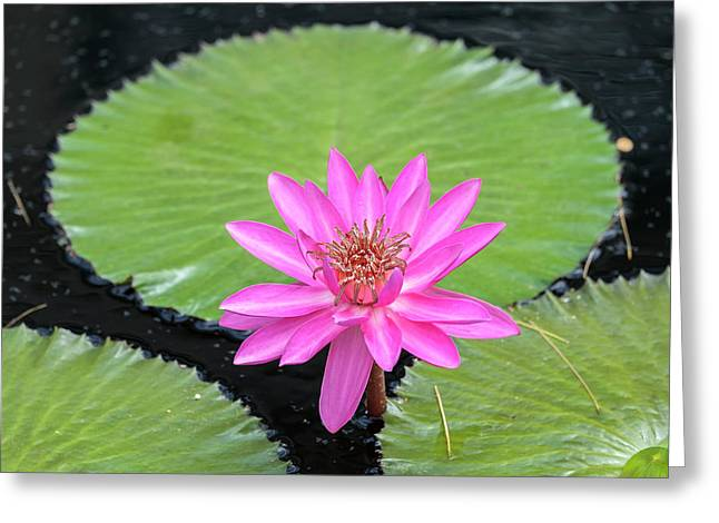 Tropical Night-flowering Waterlily, Usa Greeting Card