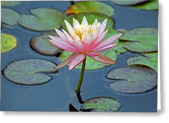 Tropical Pink Lily Greeting Card by Cynthia Guinn