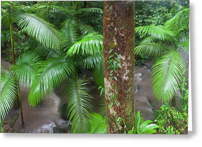 Tropical Rainforest, Mossman River Greeting Card by Peter Adams