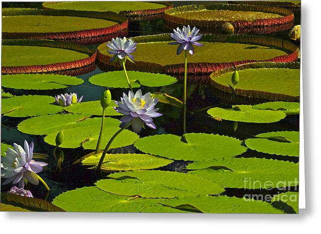 Tropical Water Lily Flowers And Pads Greeting Card by Byron Varvarigos