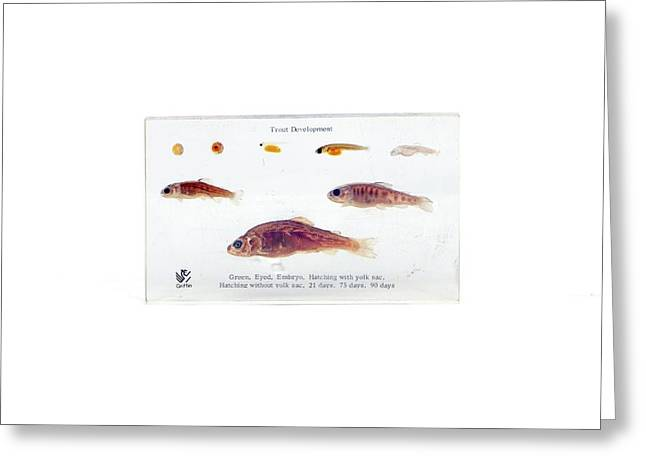 Trout Development Greeting Card by Gregory Davies