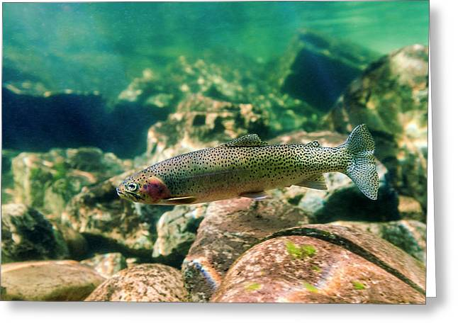 Trout In The Locsa River, Idaho Greeting Card by James White