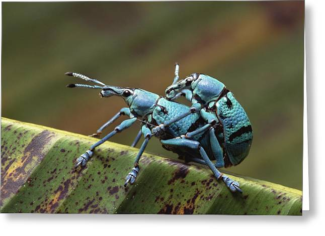 True Weevils Mating Papua New Guinea Greeting Card