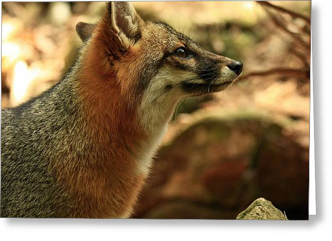 Truly Captivated By The Rare Grey Fox Greeting Card by Inspired Nature Photography Fine Art Photography