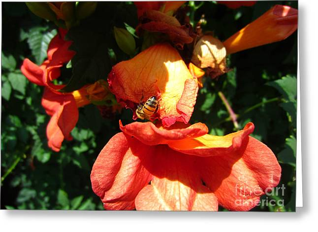 Trumpet Flower Orange And Visiting Bee Greeting Card