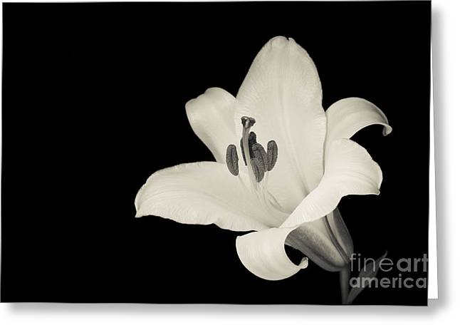 Trumpet Lily Greeting Card by Oscar Gutierrez