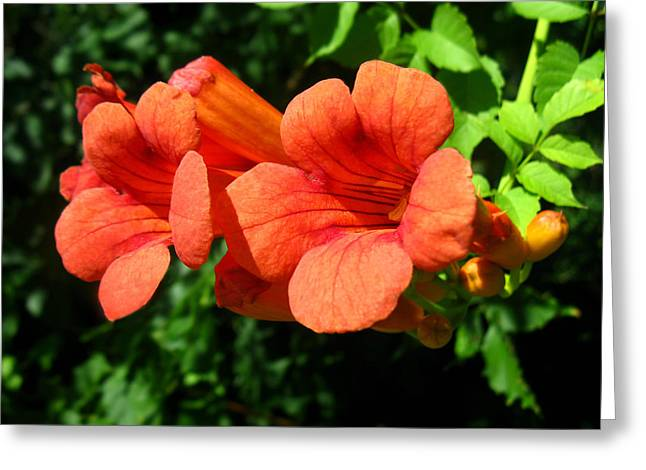 Greeting Card featuring the photograph Wild Trumpet Vine by William Tanneberger