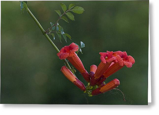 Trumpet Vine Greeting Card