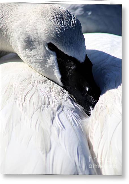 Trumpeter Swan At Rest Greeting Card by Sue Harper