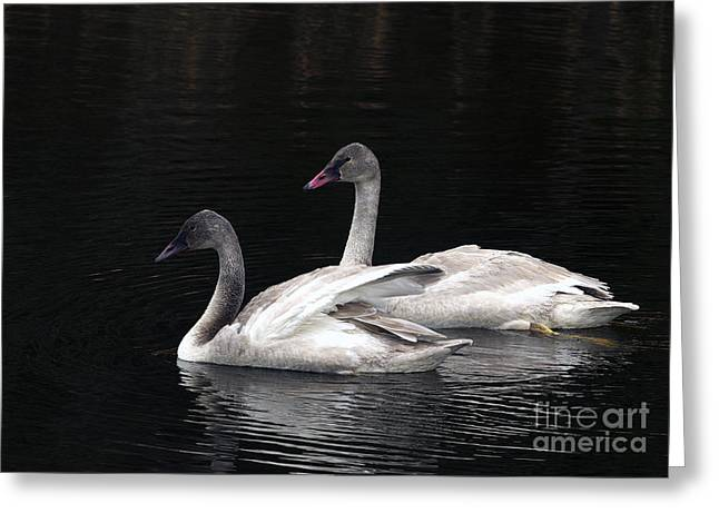 Trumpeter Swan Cygnets Greeting Card by Sharon Talson