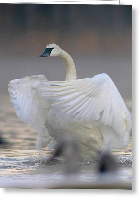 Trumpeter Swan (cygnus Buccinator Greeting Card