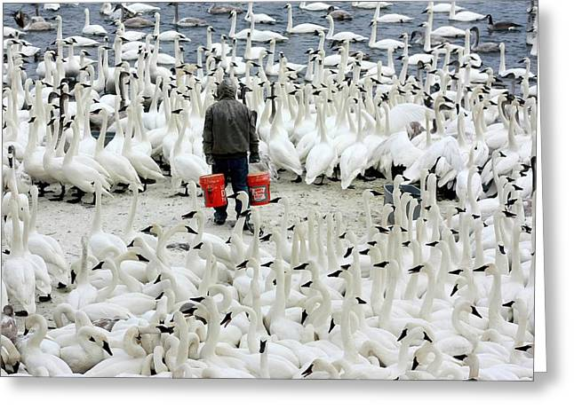 Trumpeter Swan Feeding Time Greeting Card by Amanda Stadther