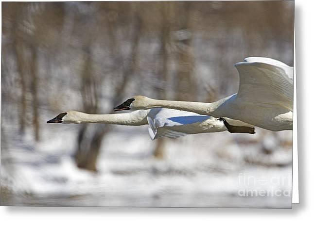 Trumpeter Swan Flyby  Greeting Card by Tim Grams