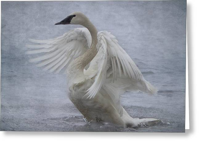Trumpeter Swan - Misty Display Greeting Card