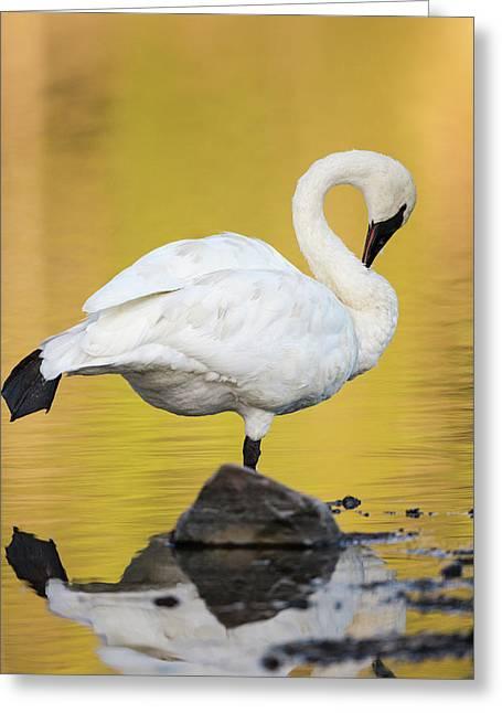 Trumpeter Swan Preening, Cygnus Greeting Card