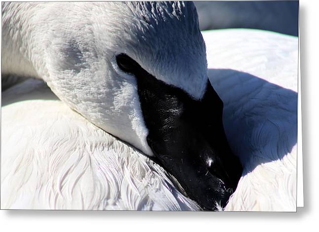 Trumpeter Swan Resting Greeting Card by Sue Harper