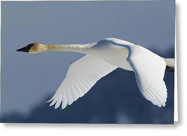 Trumpeter Swan, Winter Flight Greeting Card by Ken Archer