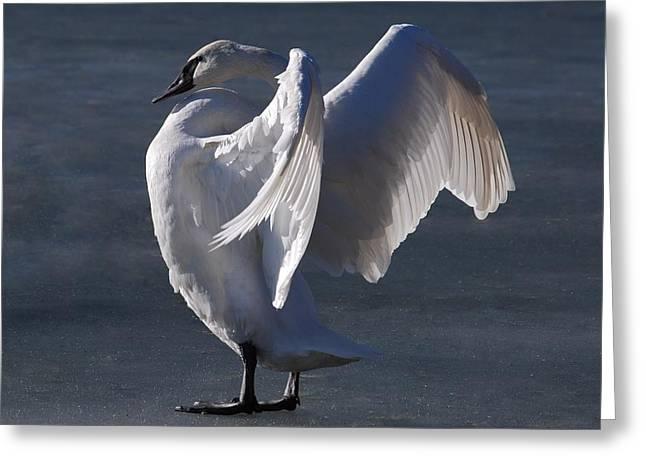 Trumpeter Swan - Zeus Greeting Card