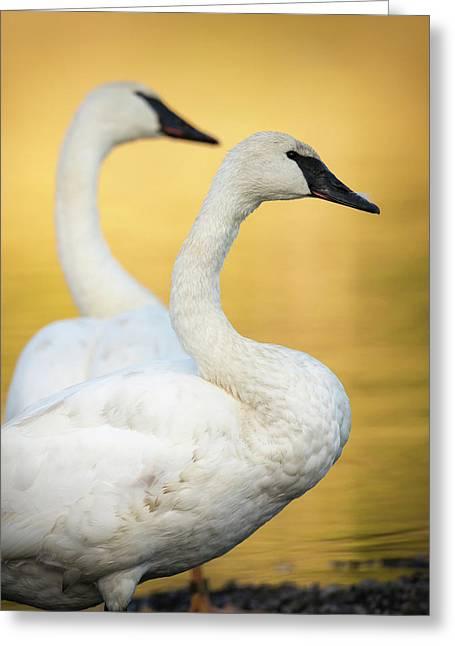 Trumpeter Swans, Cygnus Buccinator Greeting Card