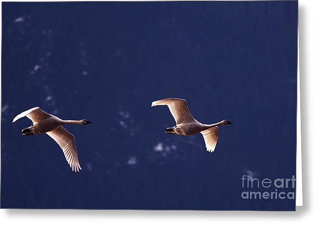 Trumpeter Swans In-flight Greeting Card by Sharon Talson