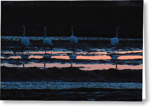 Trumpeter Swans In Pink Greeting Card