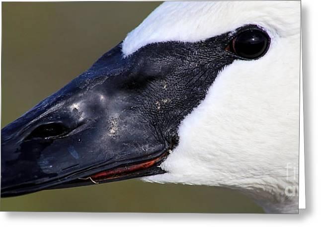 Trumpeter Swan Portrait Greeting Card by Sue Harper