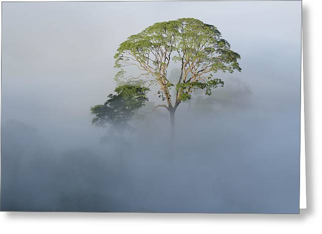 Tualang Tree Above Rainforest Mist Greeting Card