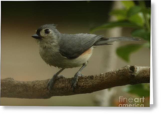Tufted Titmouse Close Up Greeting Card by Amanda Collins