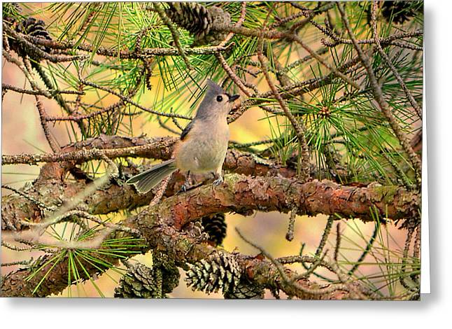 Tufted Titmouse Greeting Card by Deena Stoddard
