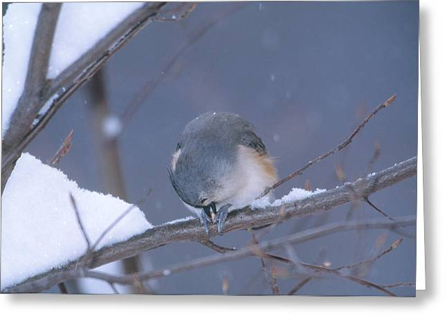 Tufted Titmouse Eating Seeds Greeting Card