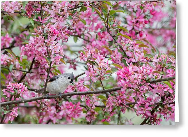 Tufted Titmouse In A Pear Tree Greeting Card