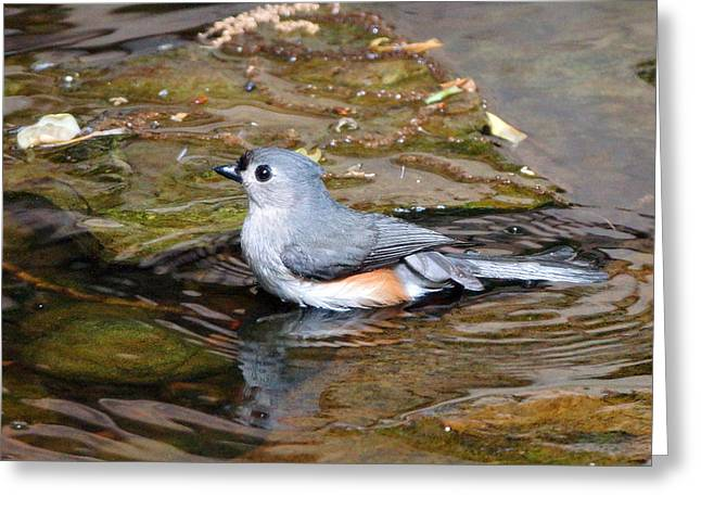 Tufted Titmouse In Pond II Greeting Card by Sandy Keeton