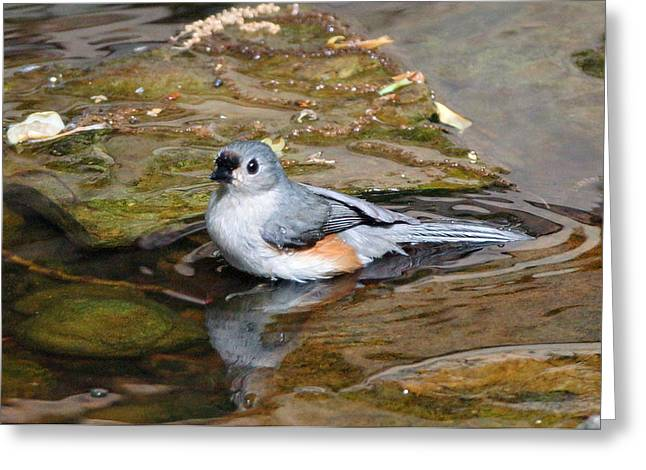 Tufted Titmouse In Pond Greeting Card by Sandy Keeton