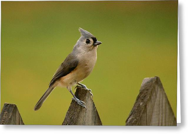 Tufted Titmouse Greeting Card by Judy Genovese