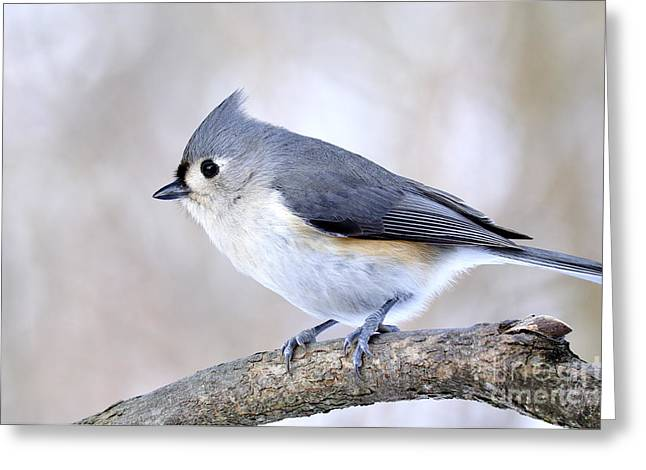 Tufted Titmouse On Dogwood 3 Greeting Card by Thomas R Fletcher