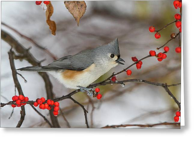 Tufted Titmouse (parus Bicolor Greeting Card