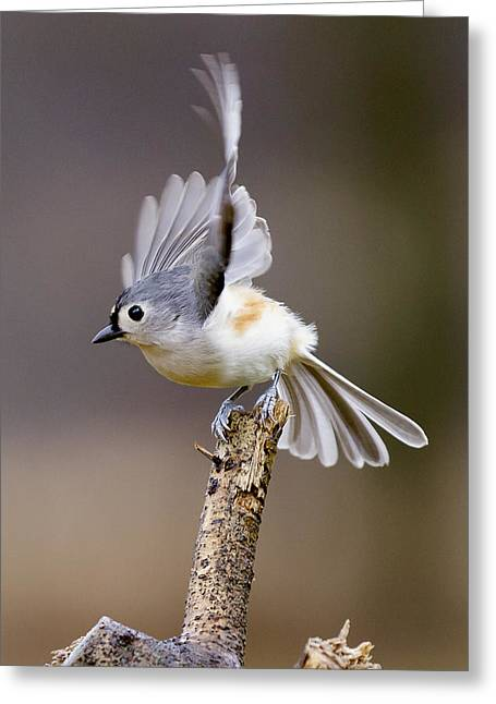 Tufted Titmouse Takeoff Greeting Card by David Lester
