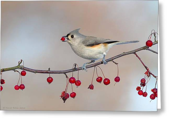 Tufted Titmouse With Red Berry Greeting Card by Daniel Behm