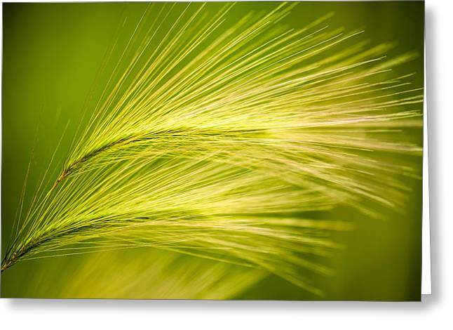 Tufts Of Ornamental Grass Greeting Card by  Onyonet  Photo Studios