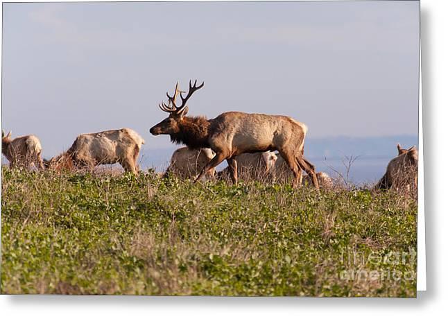 Tules Elks At Historic D Ranch At Point Reyes National Seashore California 5dimg2592 Greeting Card