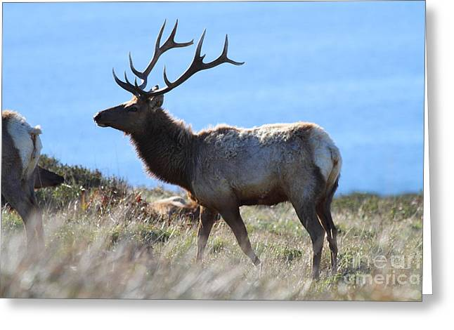 Tules Elks Of Tomales Bay California - 7d21218 Greeting Card by Wingsdomain Art and Photography