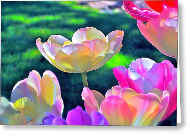 Tulip 21 Greeting Card by Pamela Cooper