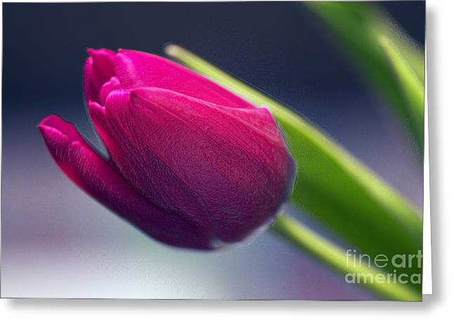 Tulip 2a Greeting Card by Sharon Talson