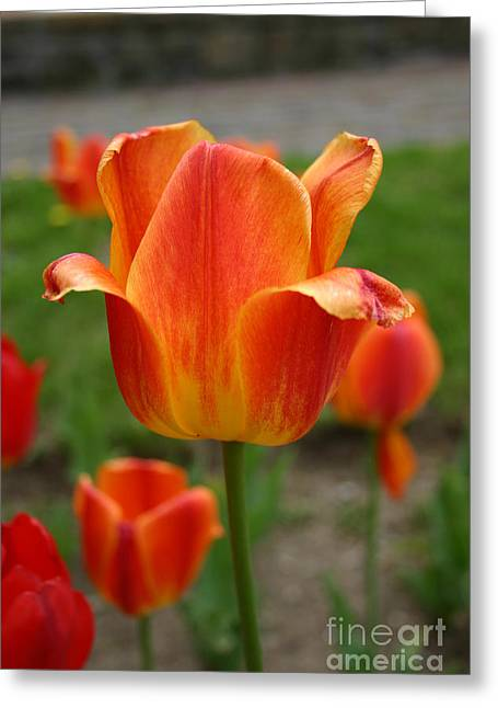 Tulip Collection Photo 4 Greeting Card