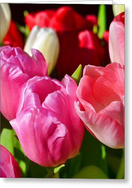 Tulip 57 Greeting Card by Pamela Cooper